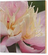 White And Pink Peony Wood Print