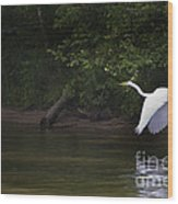 White Egret In Flight Wood Print