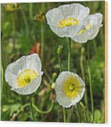 White Iceland Poppy - Beautiful Spring Poppy Flowers In Bloom. Wood Print