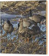 Whitefront Goose Wood Print