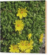 Yellow Ice Plant In Bloom Wood Print