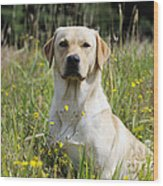 Yellow Labrador Retriever Wood Print