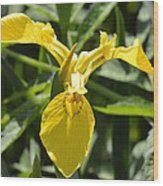Yellow Water Iris Wood Print