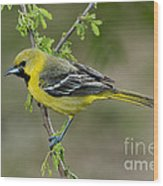 Young Orchard Oriole Wood Print