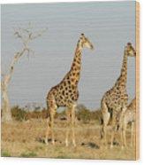 Africa, Botswana, Chobe National Park Wood Print