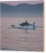 Grand Requin Blanc Carcharodon Wood Print