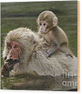 Snow Monkeys, Japan Wood Print