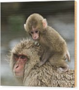 Snow Monkeys Japan Wood Print