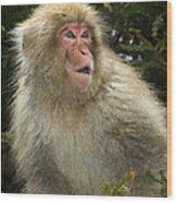 Japanese Macaque Wood Print