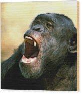 Chimpanze Pan Troglodytes Wood Print