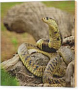 African Snakes Wood Print