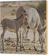 African Wild Ass Equus Africanus Wood Print