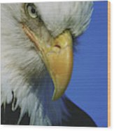 American Bald Eagle Haliaeetus Wood Print