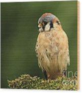American Kestrel Wood Print