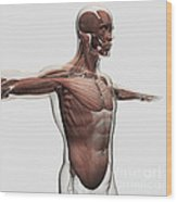 Anatomy Of Male Muscles In Upper Body Wood Print by Stocktrek Images