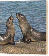 Antarctic Fur Seals Wood Print