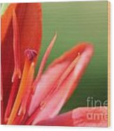 Asiatic Lily Named Red Twin Wood Print