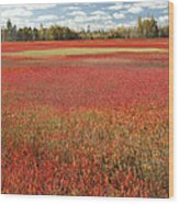 Autumn Blueberry Field Maine Wood Print