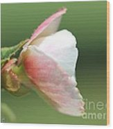 Begonia Named Nonstop Apple Blossom Wood Print