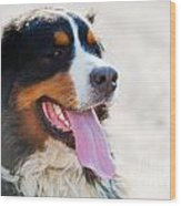 Bernese Mountain Dog Portrait Wood Print