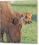 Bison Baby Wood Print