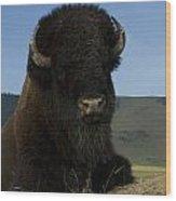 Bison  Bison Bison Wood Print