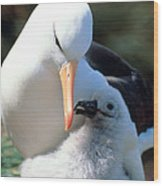 Black-browed Albatross With Chick Wood Print
