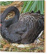 Black Swan At Nest Wood Print