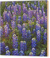 Bluebonnets At Sunset Wood Print