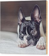 Boston Terrier Puppy Wood Print