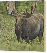 Bull Moose In Velvet  Wood Print