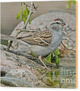 Chipping Sparrow Wood Print