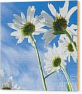 Close-up Shot Of White Daisy Flowers From Below Wood Print