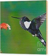 Collared Inca Hummngbird Wood Print