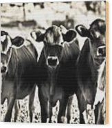 3 Curious Cows Wood Print