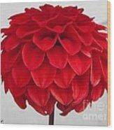 Dahlia Named Ali Oop Wood Print