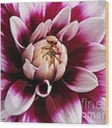 Dahlia Named Mystery Day Wood Print