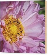 Double Click Cosmos Named Rose Bonbon Wood Print