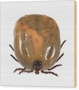 Engorged Ixodes Tick Wood Print by Science Photo Library