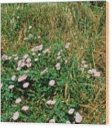 Field Bindweed (convolvulus Arvensis) Wood Print