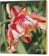 Flaming Parrot Tulip Wood Print