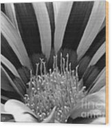 Gazania Named Big Kiss White Flame Wood Print