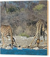 Giraffes Giraffa Camelopardalis Wood Print