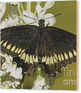 Gold Rim Swallowtail Butterfly Wood Print