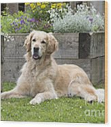 Golden Retriever Dog Wood Print