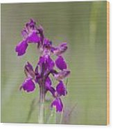 Green-winged Orchid Wood Print