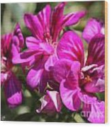 Ivy Geranium Named Contessa Purple Bicolor Wood Print
