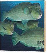 Large School Of Bumphead Parrotfish Wood Print