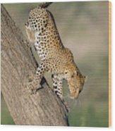 Leopard Panthera Pardus On Tree, Ndutu Wood Print