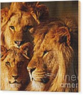 Lion Family Close Together Wood Print